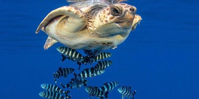 tortue de mer nageant avec des poissons