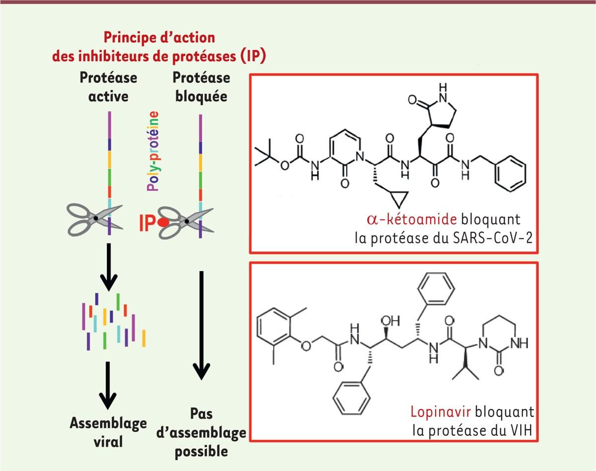 Principe d'action des inhibiteurs des protéases et comparaison des structures chimiques de deux inhibiteurs de protéases virales : le lopinavir et un α-kétoamide.