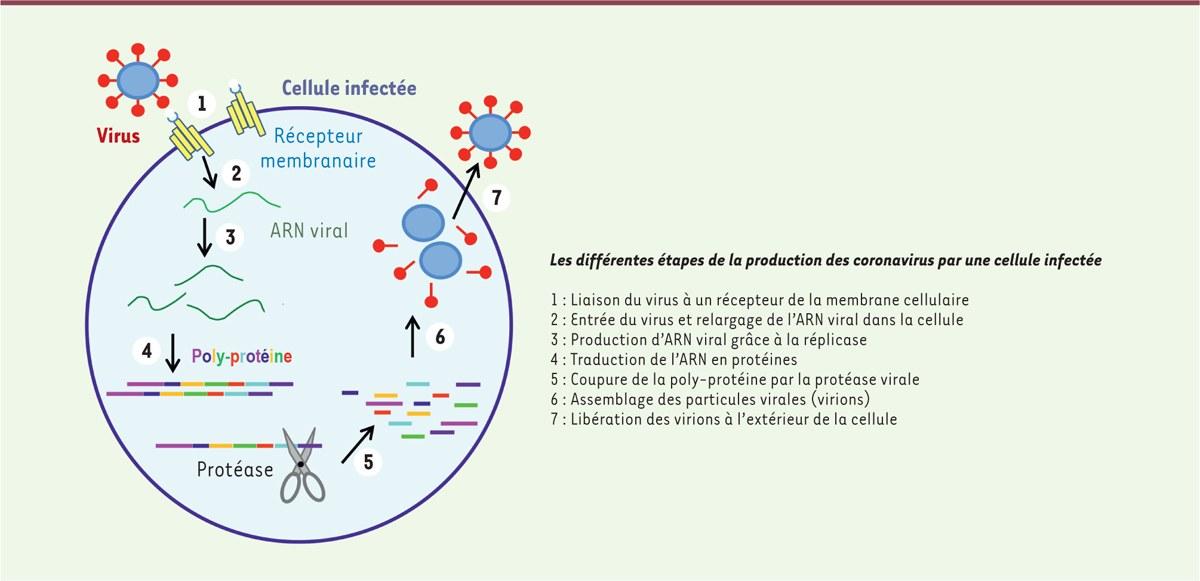 Représentation schématique de la production de particules virales par une cellule.